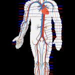 AFBO-Circulatory